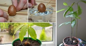 Grow-an-Avocado-Tree-In-a-Small-Garden-Pot