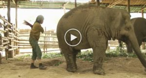 (VIDEO) This Woman Swings At An Elephant… Now Watch What The Elephants Does Next