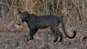 Tourist Captures Extremely Rare Black Leopard On Camera